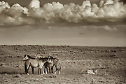 Family Band of Wild Mustangs, Wyoming High Desert