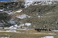 Mongolia. horse riding in the snow  (height lakes area), in Suranga area, near Uyanga  ovokangai   /   randonnée a cheval dans la neige en hiver , shuranga , region de Uyanga  ovokangai  Mongolie