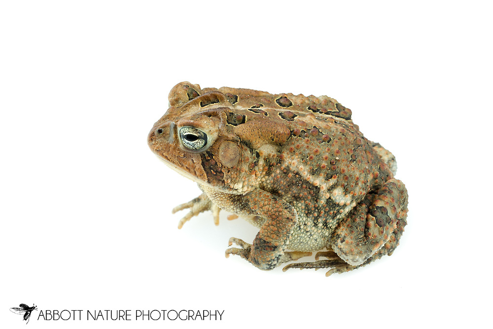 Fowler's Toad (Anaxyrus fowleri)<br /> ALABAMA: Tuscaloosa Co.<br /> Tulip Tree Springs off Echola Rd.; Elrod<br /> 30-April-2016<br /> J.C. Abbott #2806 &amp; K.K. Abbott