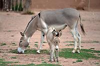 Donkeys in Yapiroa, Isosog, Santa Cruz, Bolivia