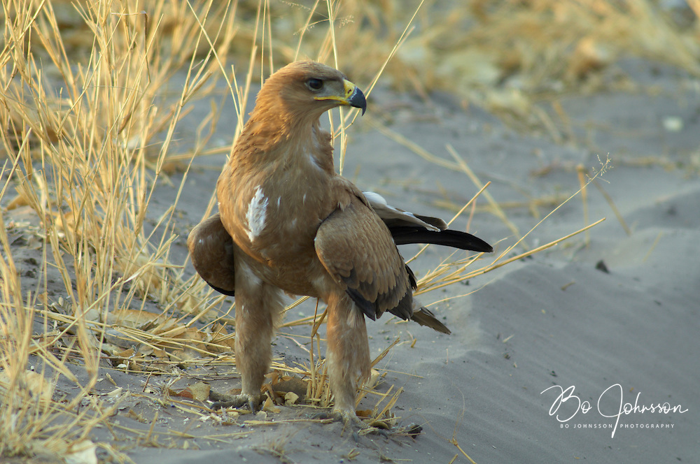 A tawny eagle (Aquila rapax) resting close to the main track to the camping site.<br /> Savuti, Botswana.<br /> September 2007.