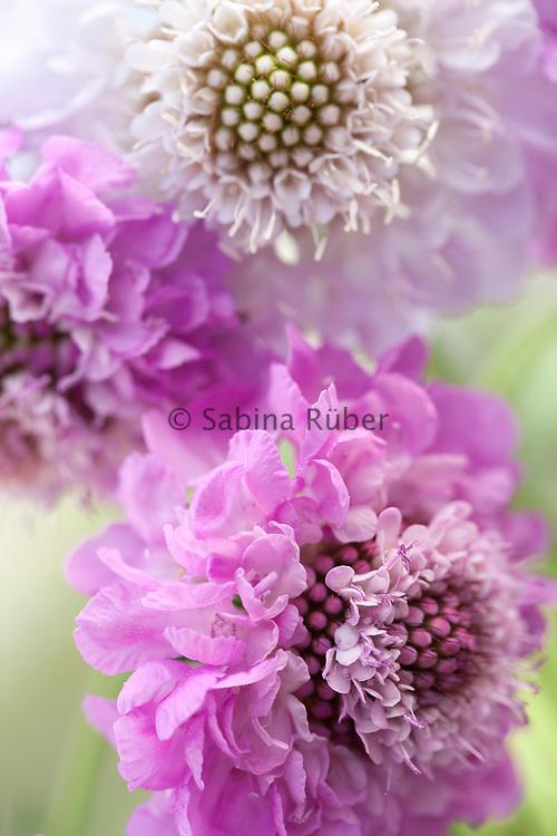 Scabiosa atropurpurea 'QIS' Formula Mixture - sweet scabious