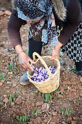 TALIOUINE, MOROCCO - October 25th 2015 - Farmer harvests saffron flowers at saffron farm in Taliouine, Sirwa Mountain Range, Souss Massa Draa region of Southern Morocco