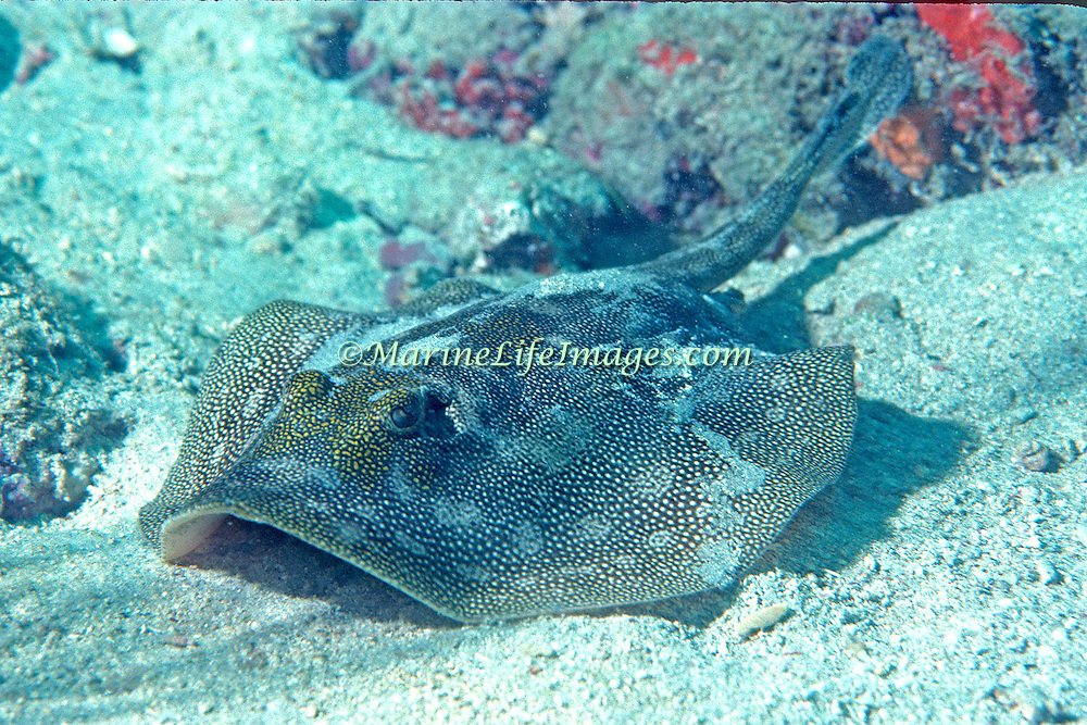Yellow Stingray inhabit sandy areas near reefs in Tropical West Atlantic; picture taken Grand Cayman.