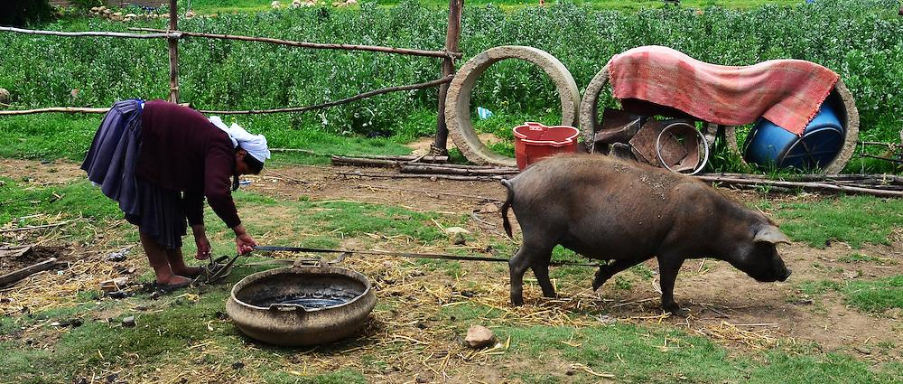 Quechua woman staking a pig near Vacas, Cochabamba, Bolivia