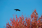 An American crow (Corvus brachyrhynchos) flies over trees displaying their fall colors along the Sammamish River in Bothell, Washington. During the fall and winter months, more than 10,000 crows roost each night in the area.