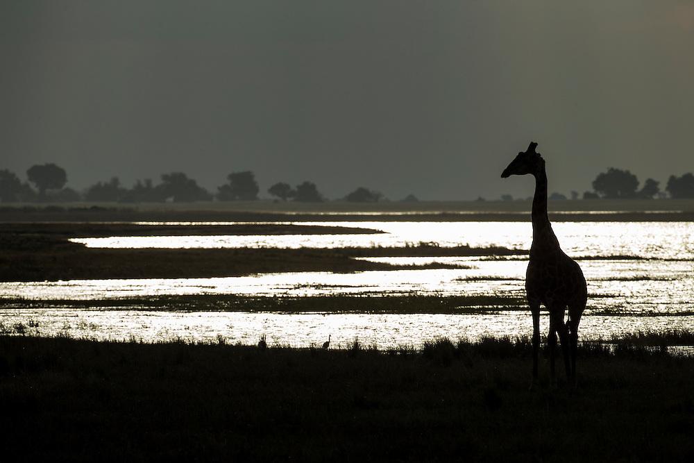 Africa, Botswana, Chobe National Park, Silhouette of Giraffe (Giraffa camelopardalis) walking along Chobe River's banks