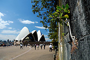 Moreton Bay Fig (Ficus macrophylla) taking root in rock wall, Sydney Opera House in background. Sydney, Australia