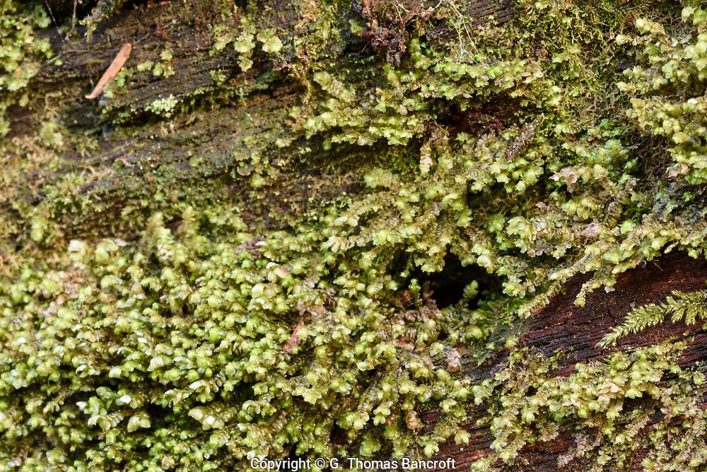 Scapania bolanderi -- Yellow-ladle Liverwort