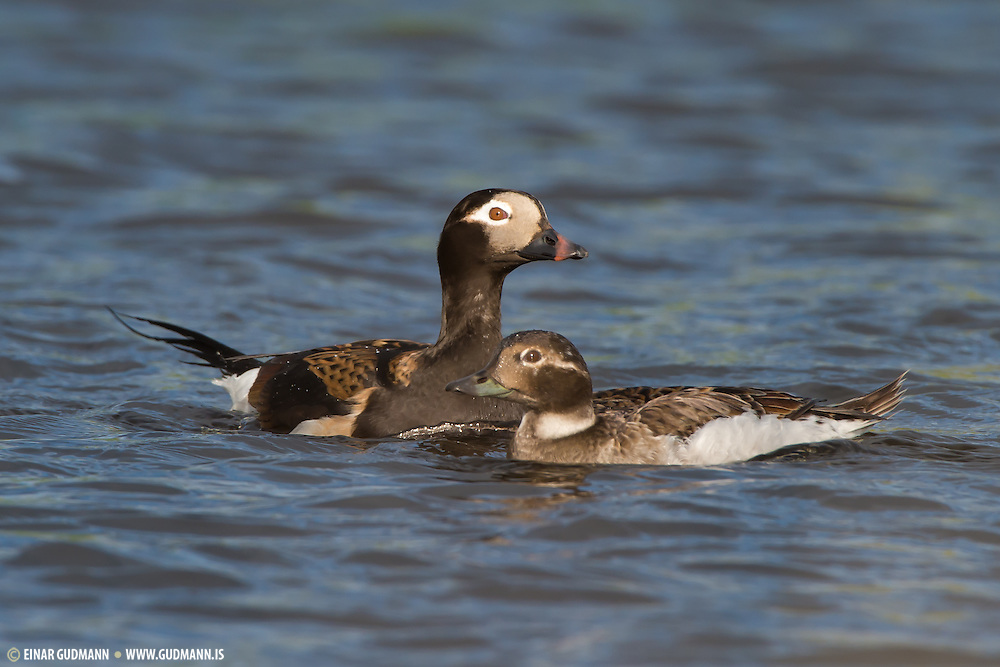 Female Long-tailed Duck (Clangula hyemalis)