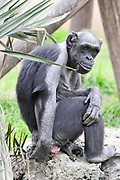 full body image of a Chimpanzee in captivity