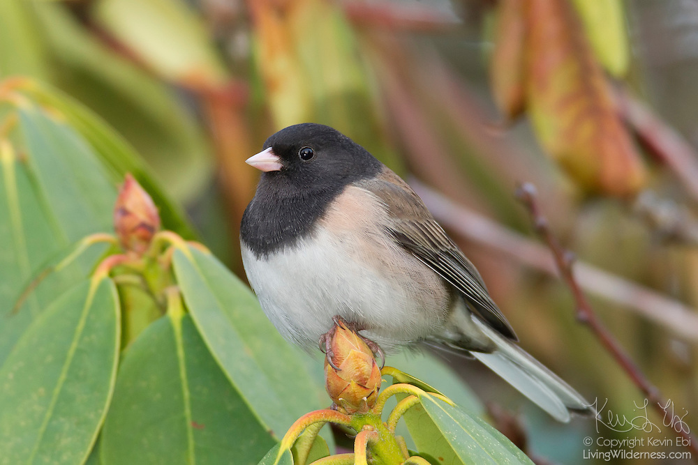 An Oregon junco (Junco hyemalis) rests on a rhododendron bud in Snohomish County, Washington. Juncos are a type of small sparrow.