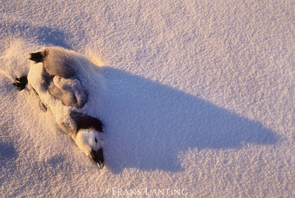 Dead emperor penguin chick, Aptenodytes forsteri, Antarctica