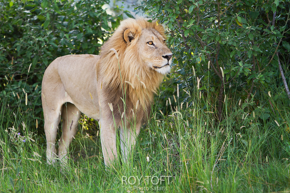 An African lion standing in the tall grass, Botswana, Africa