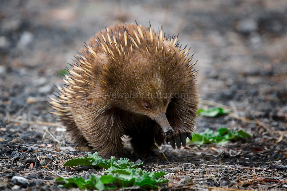 """I kept spotting these little short beaked echidnas while driving in Tasmania, foraging around at the side of the road. I kept stopping to photograph them, but they either balled up like a hedgehog, or the light was bad, or the vanished into the bush. Finally, my efforts paid off.......The Tasmanian Echidna has more fur and less spines than its mainland relative.  Echidnas eat ants, termintes and other small invertebrates, which is traps on its tongue using sticky saliva.....Australia's egg-laying marsupial mammal. Also known as """"spiny anteater"""", is a mammal belonging to the Tachyglossidae family of the monotremes. It is the only surviving member of its genus in the latter order, together with the platypus. There are four species, living in New Guinea and Australia. The echidna is named after a monster in ancient Greek mythology.....The echidna, along with the Platypus, are the only egg-laying mammals, known as monotremes. The female lays a single soft-shelled, leathery egg twenty-two days after mating and deposits it directly into her pouch. Hatching takes ten days; the young echidna, called a puggle, then sucks milk from the pores of the two milk patches (monotremes have no nipples) and remains in the pouch for forty-five to fifty-five days, at which time it starts to develop spines. The mother digs a nursery burrow and deposits the puggle, returning every five days to suckle it until it is weaned at seven months...(Wikipedia)....But the real trivia - echidnas have a four-headed penis! """"but only two of the heads are used during mating. The other two heads """"shut down"""" and do not grow in size. The heads used are swapped each time the mammal has sex."""" (Wikipedia)"""