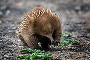 "I kept spotting these little short beaked echidnas while driving in Tasmania, foraging around at the side of the road. I kept stopping to photograph them, but they either balled up like a hedgehog, or the light was bad, or the vanished into the bush. Finally, my efforts paid off.......The Tasmanian Echidna has more fur and less spines than its mainland relative.  Echidnas eat ants, termintes and other small invertebrates, which is traps on its tongue using sticky saliva.....Australia's egg-laying marsupial mammal. Also known as ""spiny anteater"", is a mammal belonging to the Tachyglossidae family of the monotremes. It is the only surviving member of its genus in the latter order, together with the platypus. There are four species, living in New Guinea and Australia. The echidna is named after a monster in ancient Greek mythology.....The echidna, along with the Platypus, are the only egg-laying mammals, known as monotremes. The female lays a single soft-shelled, leathery egg twenty-two days after mating and deposits it directly into her pouch. Hatching takes ten days; the young echidna, called a puggle, then sucks milk from the pores of the two milk patches (monotremes have no nipples) and remains in the pouch for forty-five to fifty-five days, at which time it starts to develop spines. The mother digs a nursery burrow and deposits the puggle, returning every five days to suckle it until it is weaned at seven months...(Wikipedia)....But the real trivia - echidnas have a four-headed penis! ""but only two of the heads are used during mating. The other two heads ""shut down"" and do not grow in size. The heads used are swapped each time the mammal has sex."" (Wikipedia)"