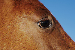 North America, United States, Arizona, Tucson, eye of horse