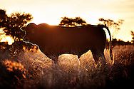 African cattle is cross breed between the sturdy Indian Braman and a meaty swiss breed called Simmental - brought to Africa by German-African farmers.