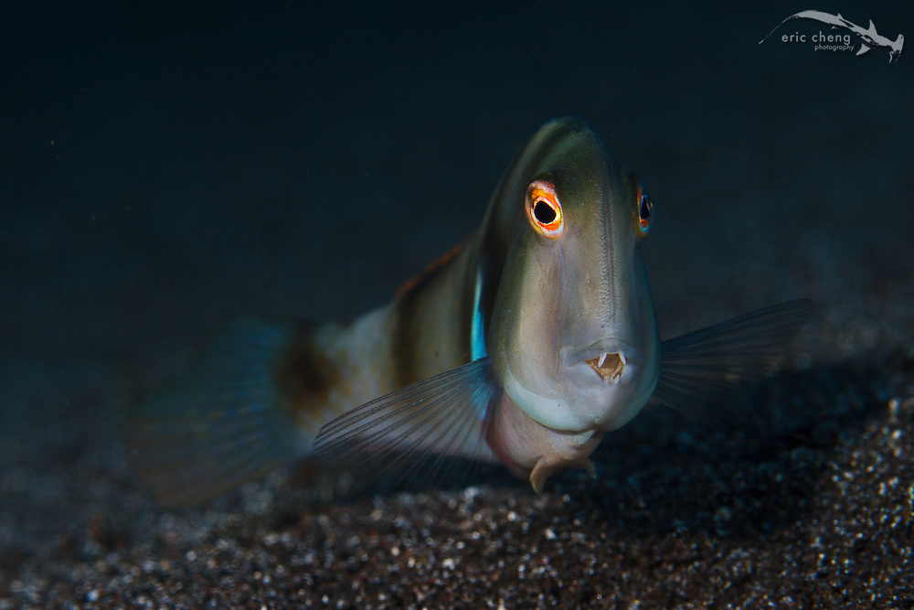 A whitepatch razorfish (Iniistius aneitensis) in Sangeang, Indonesia. This dopey looking wrasse hangs out on the sandy bottom and darts into the sand when threatened (and to sleep, at night).
