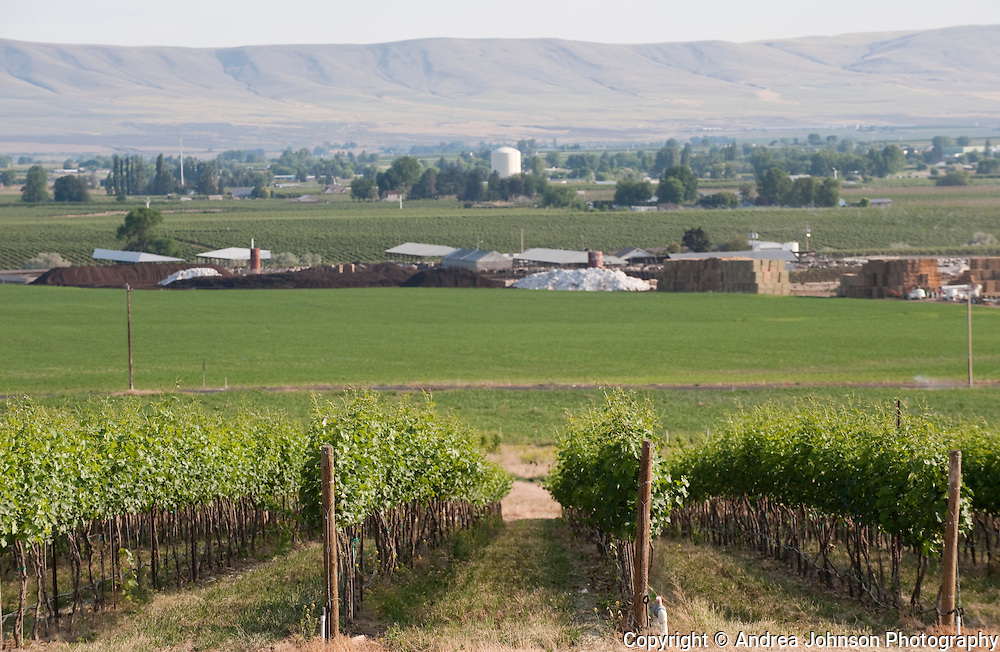 Vineyards near Prosser with backside of Horse Heaven Hills in the background, Washington