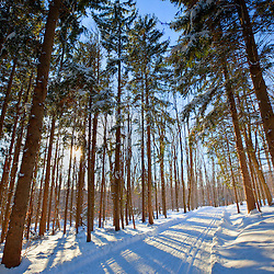 Cross-country ski trail in a spruce forest at the Notchview Reservation in the Berkshires.  Windsor, Massachusetts. The Trustees of Reservations.