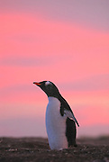 Gentoo penguin throws back its wings with a pink sunset sky.