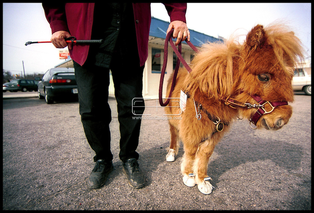1st February 2001, Kittrell, North Carolina. Cuddles a pigmy horse, who is the first guide horse for the blind, pictured in training in her home town. <br /> <br /> Photo Copyright John Chapple / www.JohnChapple.com
