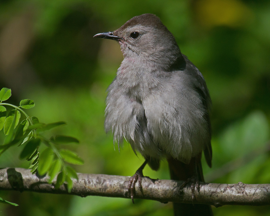 Cat bird in some dense bushes. Shot this one almost at point blank range. Some cat birds are fairly tolerant of humans.