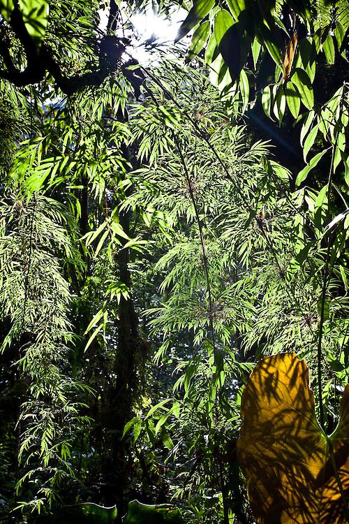 bamboo casts shadows on an elephant ear in mesopotamia beaked toad (Rhinella rostrata) habitat in Sonson, Antioquia, Colombia