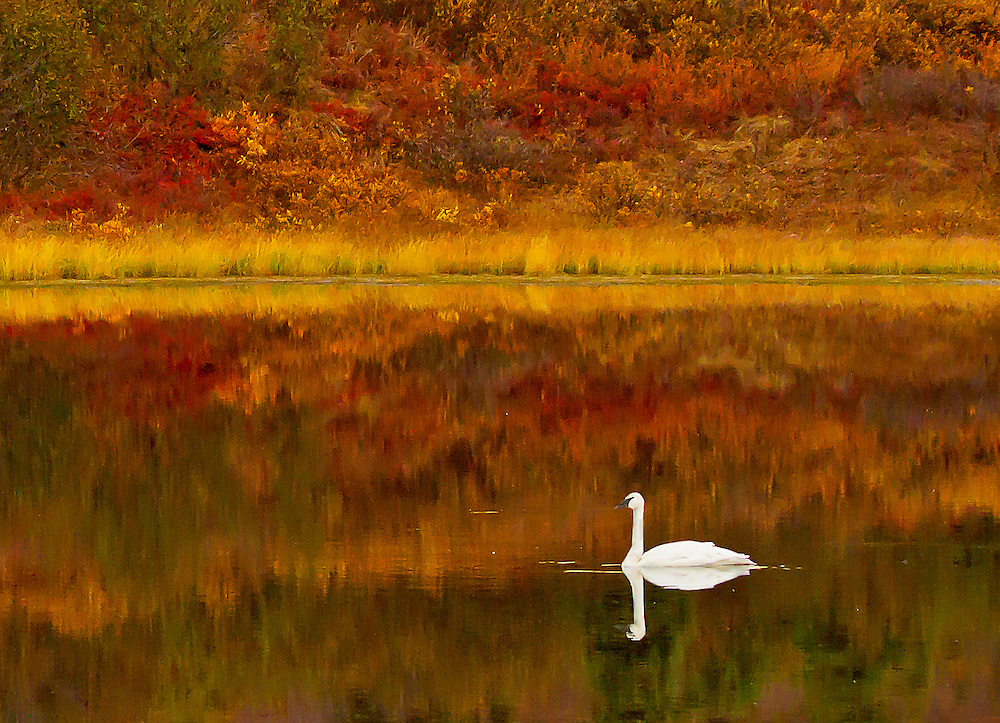 Alaska. Trumpeter Swan (Cygnus buccinator) reflection in autumn tundra color, Denali National Park.