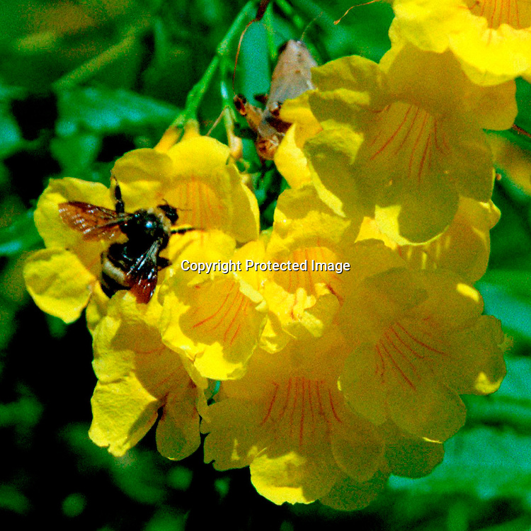 """Bee finds flowering esperanza in in Roma in the Texas Rio Grande Valley  irresistible. NOTE: Click """"Shopping Cart"""" icon for available sizes and prices. If a """"Purchase this image"""" screen opens, click arrow on it. Doing so does not constitute making a purchase. To purchase, additional steps are required."""