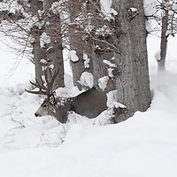 large mature atypicl muledeer buck traveling though deep snow during rut searching does