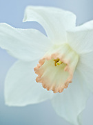 Narcissus 'Interim' - large-cupped daffodil
