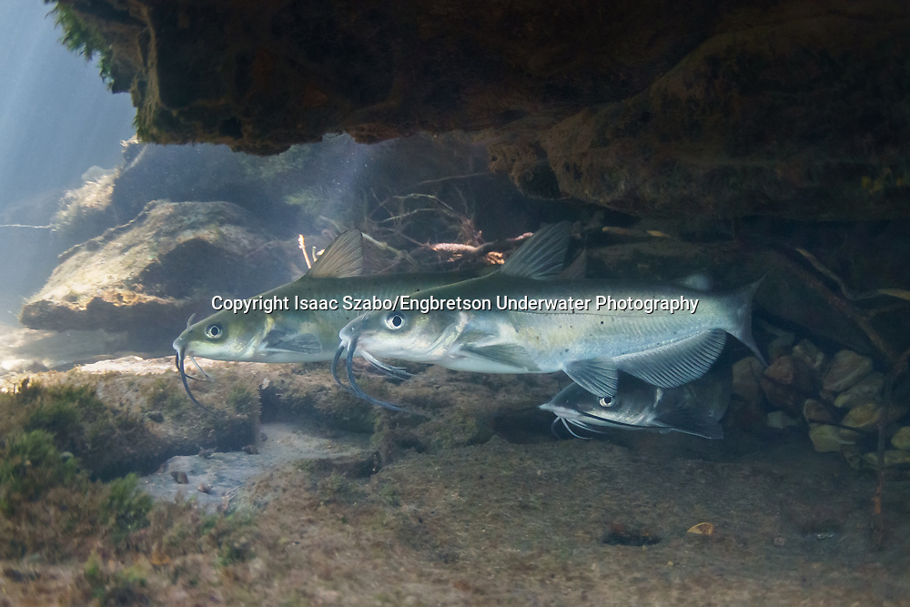 Channel Catfish<br />