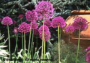 Purple Allium, allium aflatunense, Scott Arboretum, Swarthmore College, Philadelphia gardens and arboretums, Swarthmore, PA