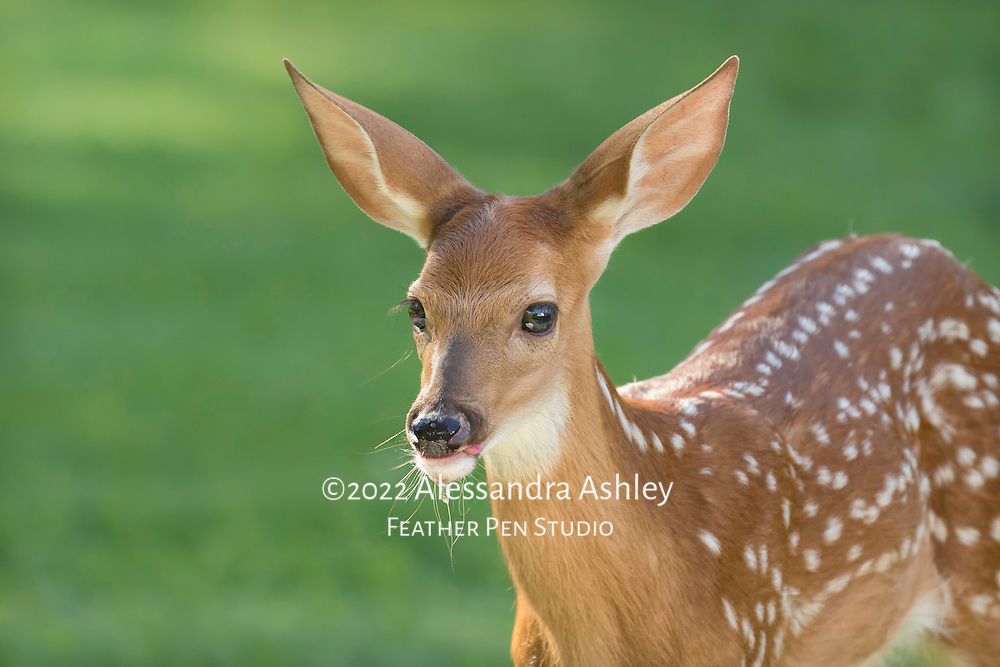White-tailed deer fawn (Odocoileus virginianus) appears to smile after finding cool water to sip on a hot summer day.