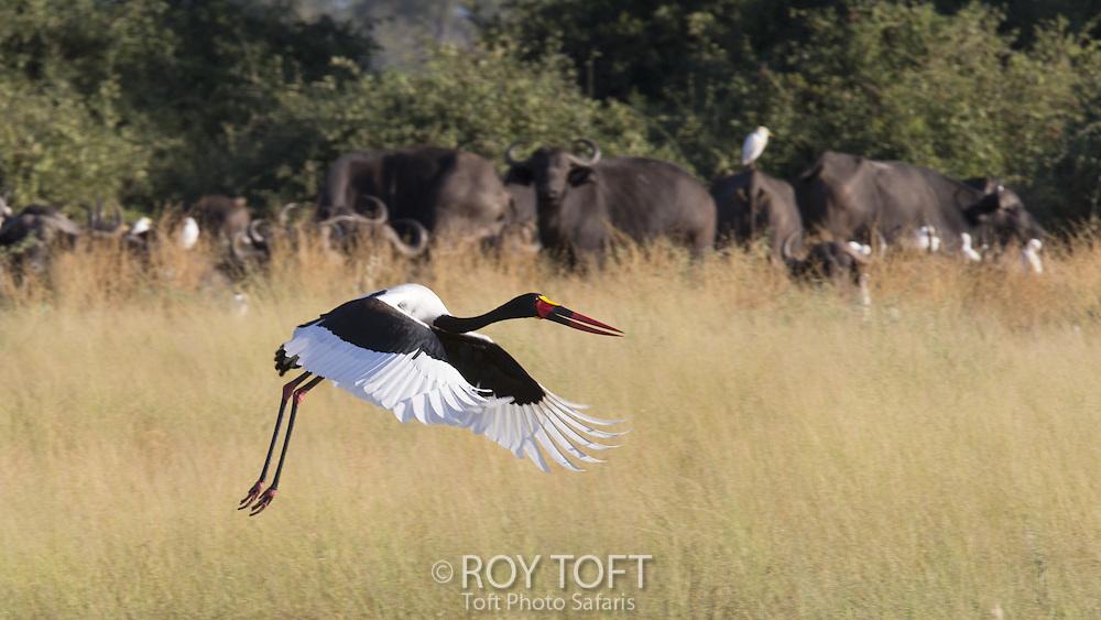 Saddle-billed stork in flight, Duba Plains, Botswana