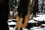 A white-tailed buck with two does during mating season in fall. Yaak Valley in the Purcell Mountains, northwest Montana.