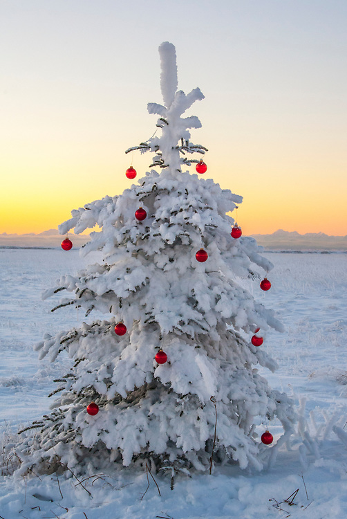 A spruce tree frosted by Alaska's bitter cold is decorated in festive red glass ball decorations for Christmas with the Alaska Range in the background.