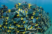 Yellowtailed Surgeonfish (Prionurus laticlavius)<br /> Bartolome<br /> Galapagos<br /> Ecuador<br /> South America