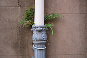 A fern plant grows out of a drainage downspout along a wall  in the historic district of Charleston, South Carolina. The high humidity of the low country encourages plant growth in unusual locations.