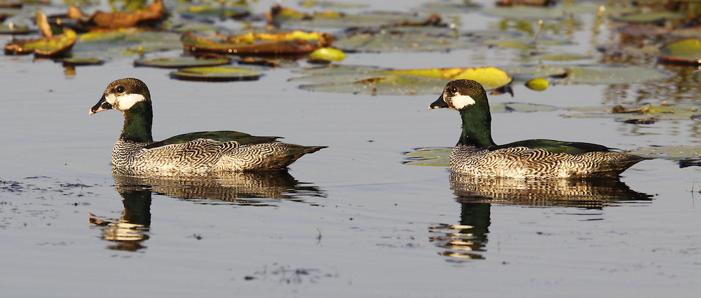 Green Pygmy Goose, Nettapus pulchellus, pair, with reflection, Australia, by Jonathan Rossouw