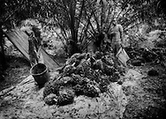 Villagers from Ayang Atemako collect bundles of oil palm fruit on the village's own small artisanal farm.  Villages cannot compete with large plantations because the plantations can afford the massive amounts of fertilizer needed to yield larger, higher quality fruits.  The farmers of Ayang Atemako use no fertilizer at all.  Most of the palm oil produced here is for local consumption.  <br />  <br /> Oil palm trees are native to West Africa.  Southwestern Cameroon is on the edge of the region formerly known as the &quot;Oil Rivers&quot;, because of palm oil, not petroleum, extending from the Niger River Delta of Nigeria into Cameroon.  From the 1870's, the British, Germans and French jockeyed for control to break the so-called &quot;African Mafia&quot; of middle men who held a monopoly over palm oil, a much sought commodity to make lubricants for machinery and soap.  Now palm oil is used for bio-fuel, cosmetics, and foods by major buyers including, Nestle, McDonald's, Unilever and Walmart.