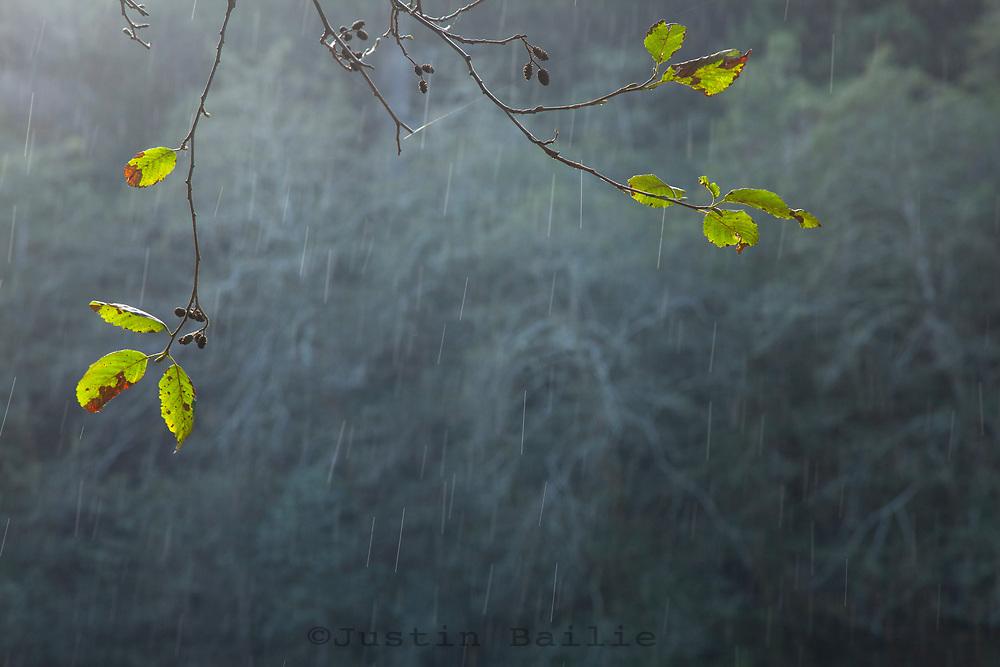 Rain falling in Redwood National Park, CA.