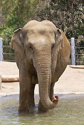 An elephant standing in a pool of water, San Diego Zoo, San Diego, California, United States of America