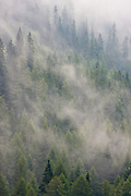 The clouds passing through the mountain slopes envelop the pines and firs giving them an almost ghostlike look.