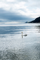 A lone swan swims in Dunoon west Bay looking out over the Firth of Clyde<br /> <br /> 04 April  2015<br /> Image © Paul David Drabble <br /> www.pauldaviddrabble.co.uk