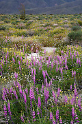 Lupine blooming in springtime in the Anza Borrego Desert State Park, California, USA in a year when three seasons in a row were wet and caused the desert to become a lush wildflower garden.