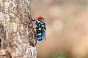 Africa, Tanzania, Lake Manyara National Park blue bottle fly or bottlebee (Calliphora vomitoria)