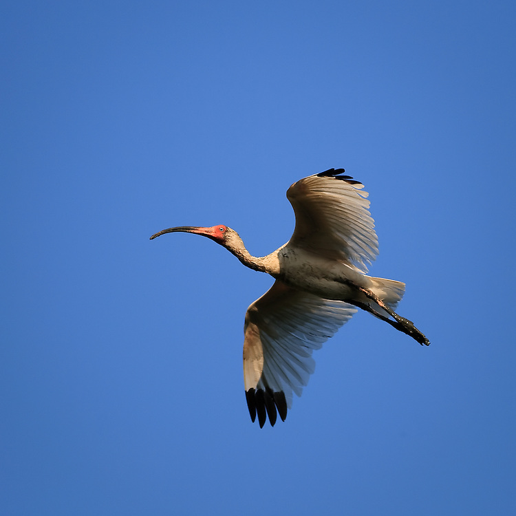 An adult white ibis (Eudocimus albus) flies in to roost for the evening at the natural rookery at the St. Augustine Alligator Farm, Anastasia Island, St. Augustine, Florida.